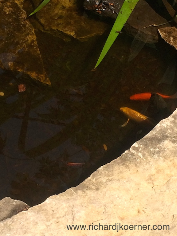 I cautiously took this photo, hoping not to 'spook' the koi and goldfish.