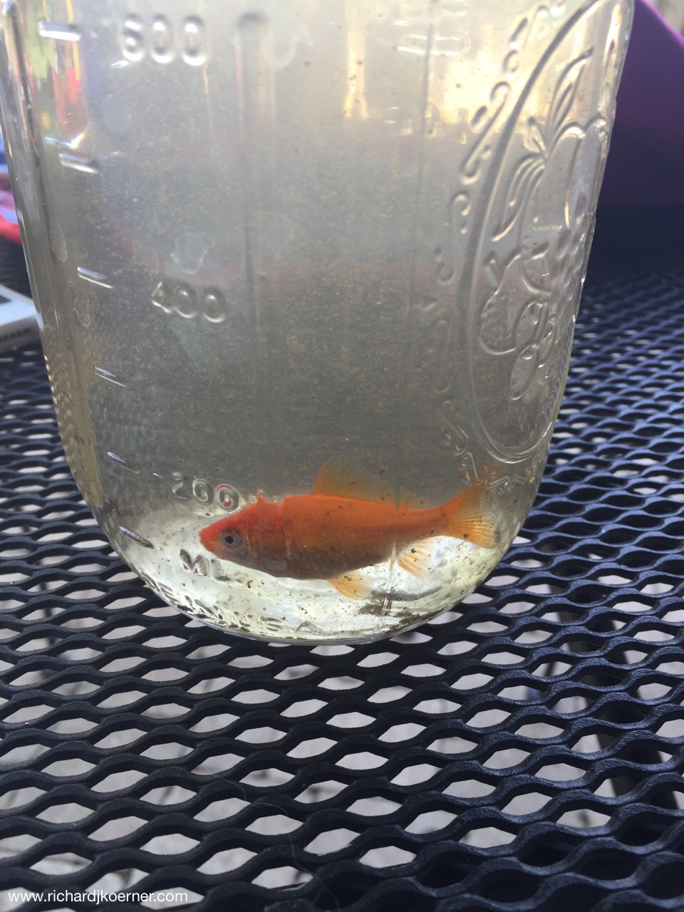 The Glencoe fish 'passed' so this baby born in our back yard a few years ago will be a 'replacement.'