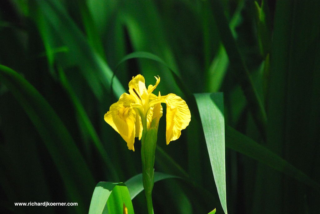 Water iris by the pond.