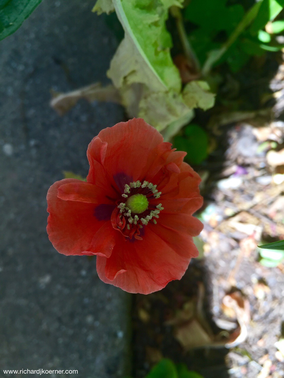 Not even four inches tall, this annual poppy from my mom, a dwarf, sickly aberration, looks pretty nice.
