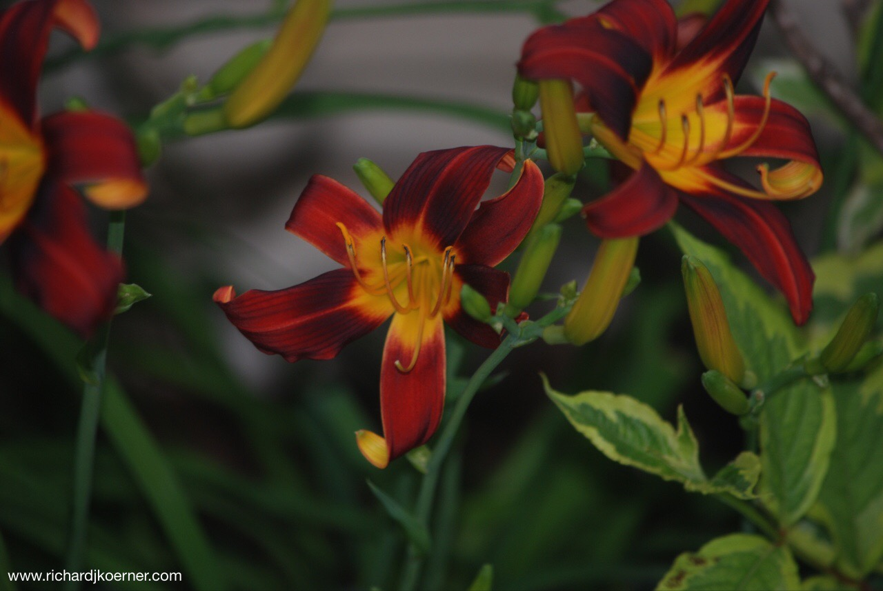 Love these daylilies I have growing in the front flower bed.