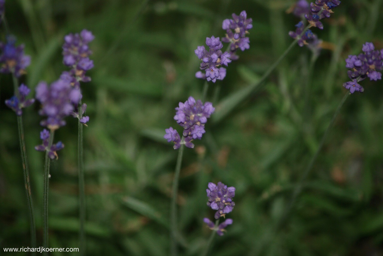The lavender in the front flower bed lends so much wonderful fragrance and begs to be touched for its oils.